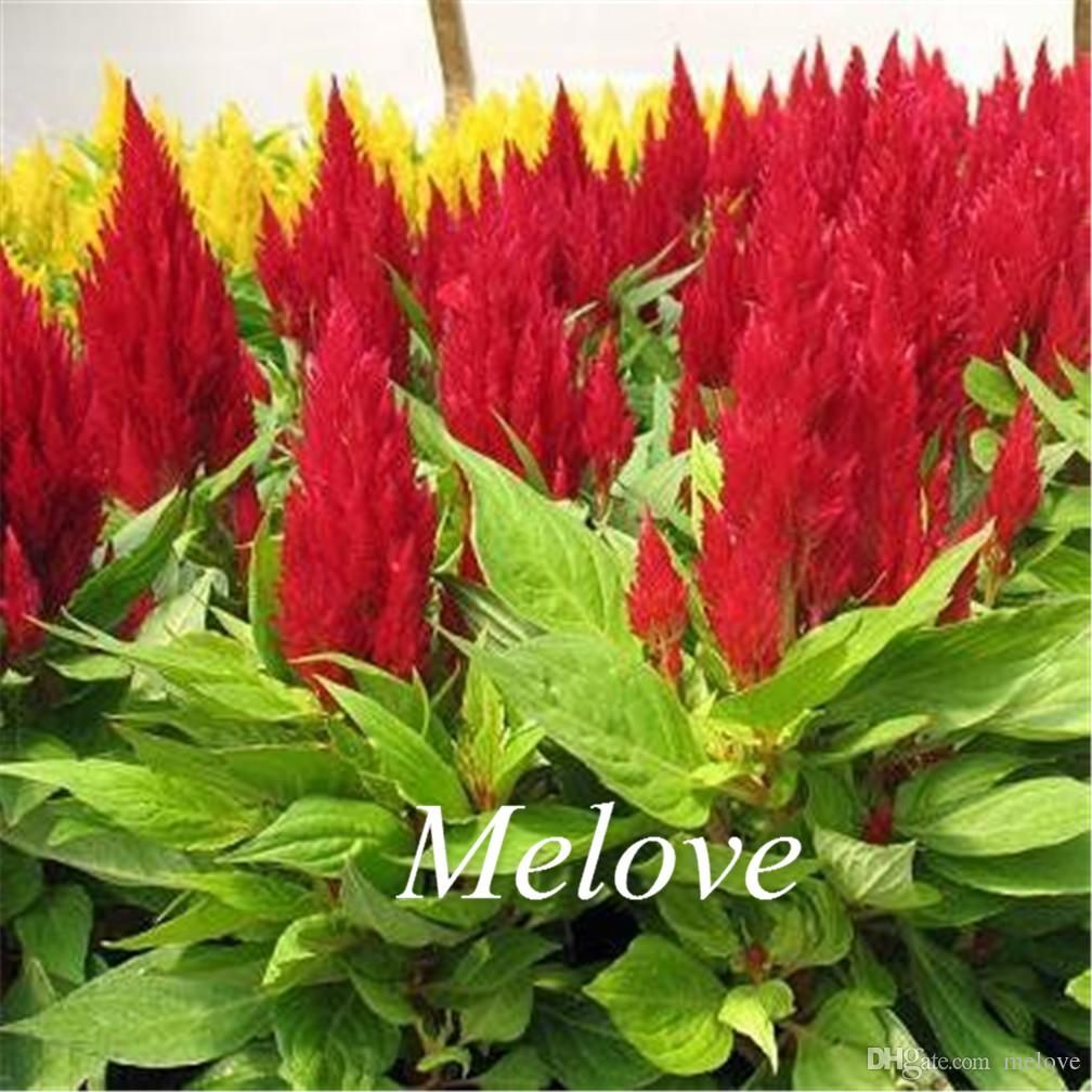 Red Celosia Flower 1000 Pcs Seeds Red Flamingo Celosia Upright Ckscomb 2018 From Melove 4 93 Dhgate Mobile Flower Seeds Celosia Flower Flowers
