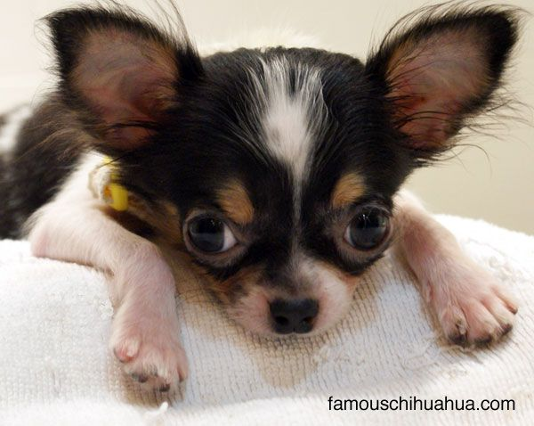 The Rescue Story Of Runy An Apple Head Chihuahua Puppy From China