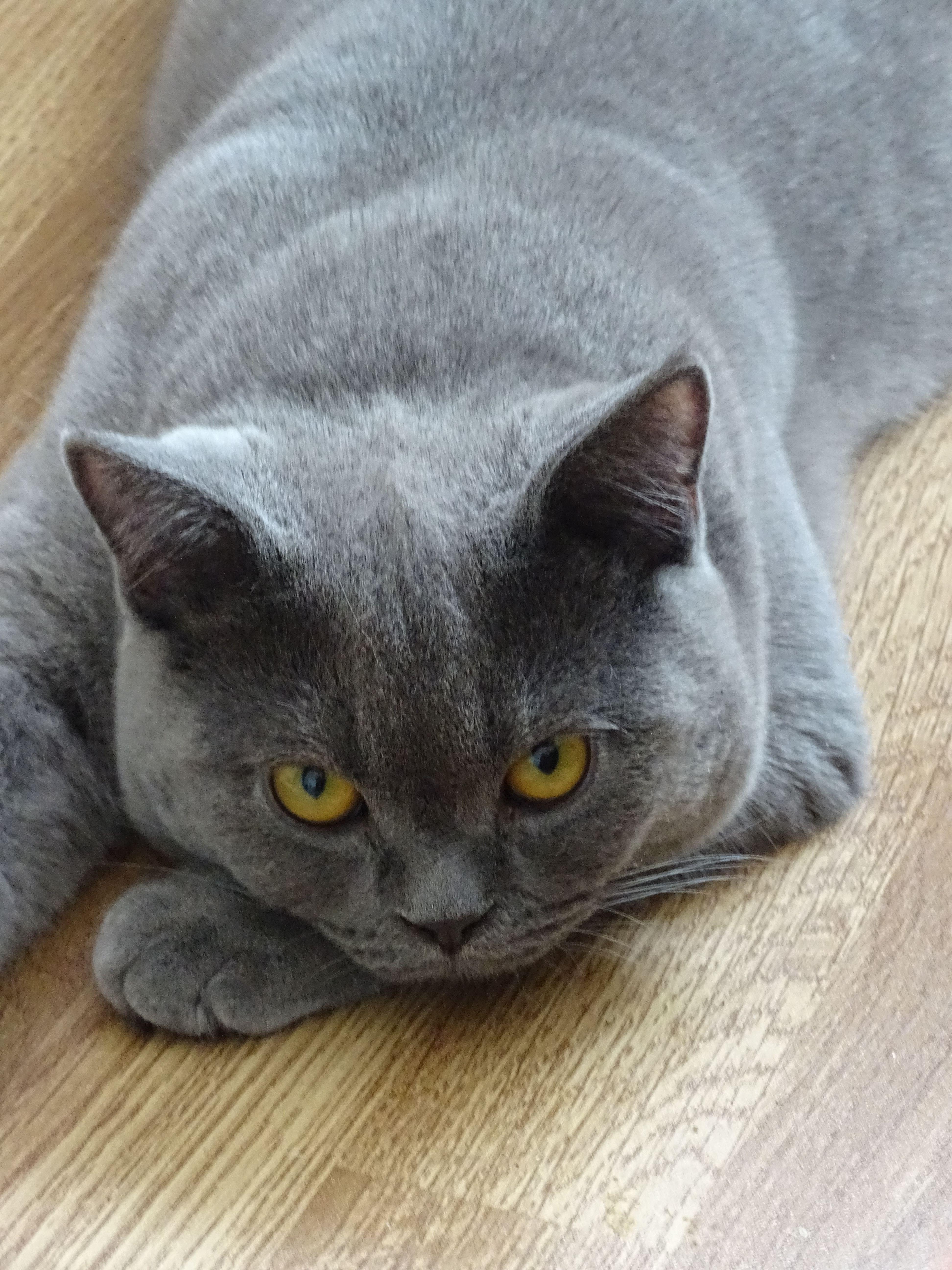 Pin Von Michelle Sebesan Auf Beautiful British Shorthair Cats