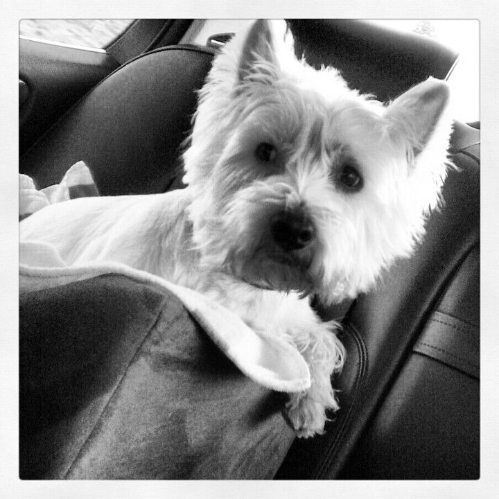 Shelby in her car seat on her way to Doggie Daycare!!