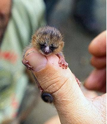Baby Mouse Lemur via Wildlife and Nature Pictures