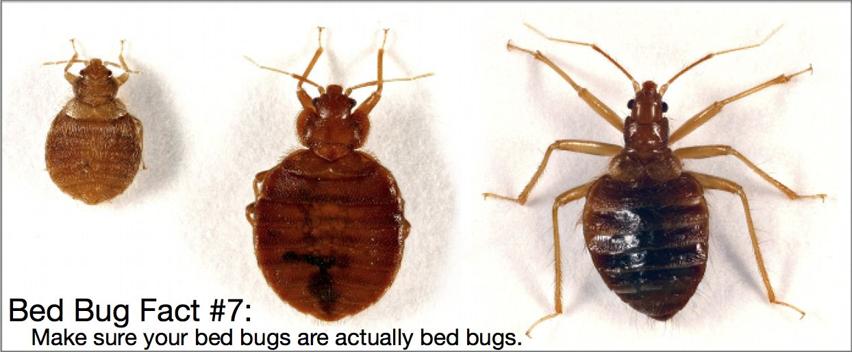 Is Your Pest Infestation Really Bed Bugs There Are Several Pests
