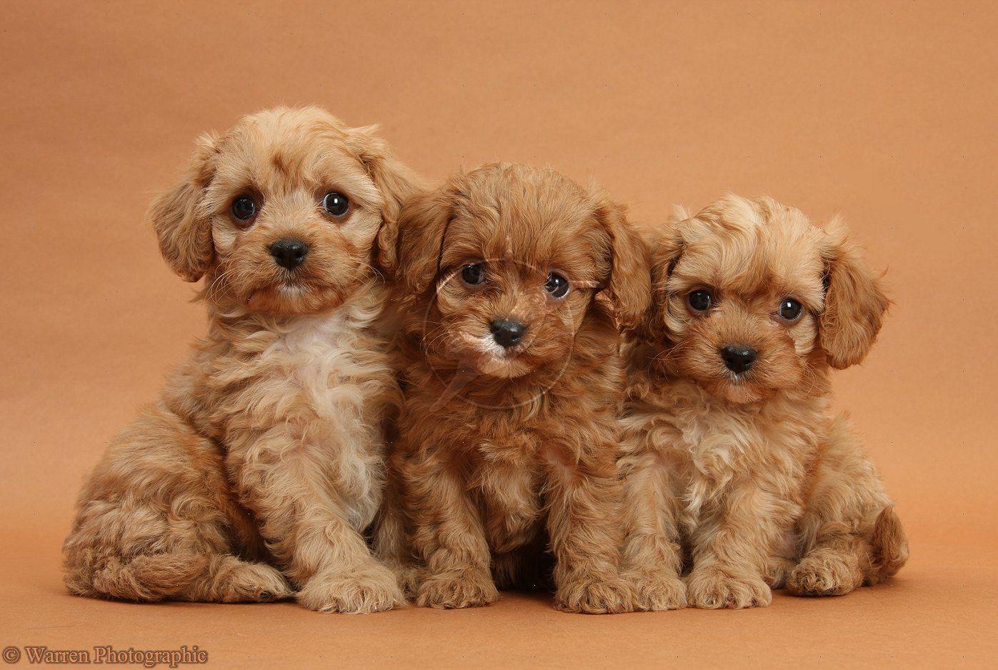 ThreeCavapoopups,just for you x Cavapoo puppies