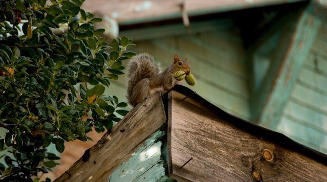 How To Get Rid Of Squirrels In The Attic Attic Rooms Attic Flooring Attic