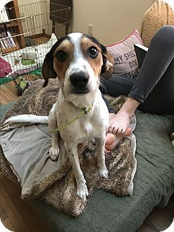 Baltimore Md Beagle Rat Terrier Mix Meet Violet A Dog For