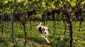 Resultado de imagem para vineyards animal