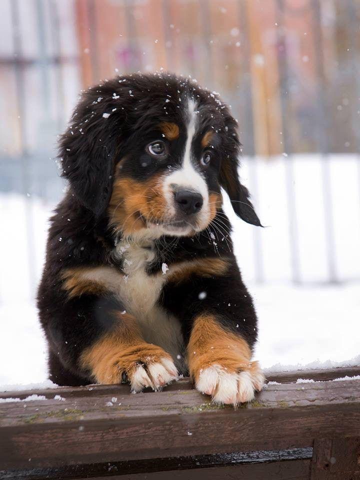 Photo of Very cute Bernese dog Mtn