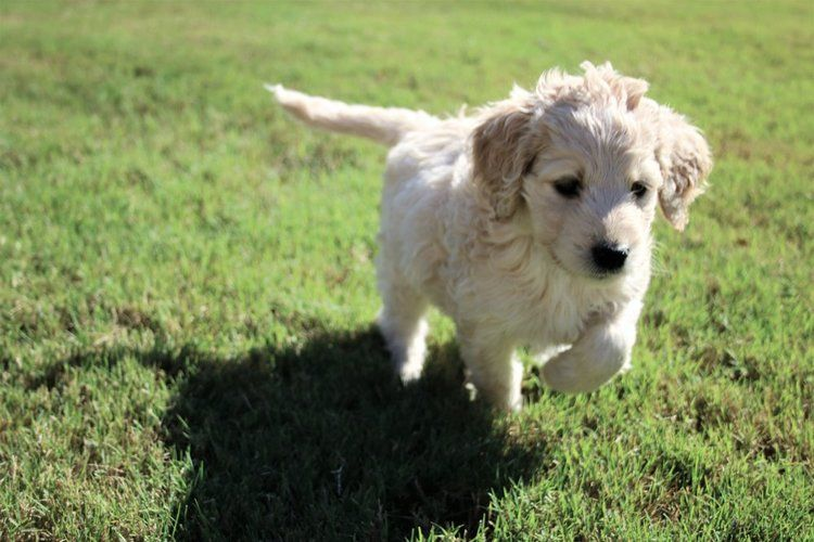 Crockett Doodles Family Raised Doodle Puppies For Sale Doodle Puppy Puppies Best Dogs For Families