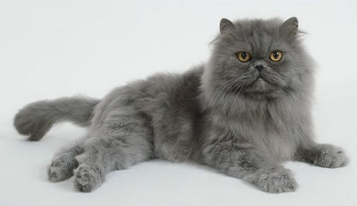 Blue Persian Cats