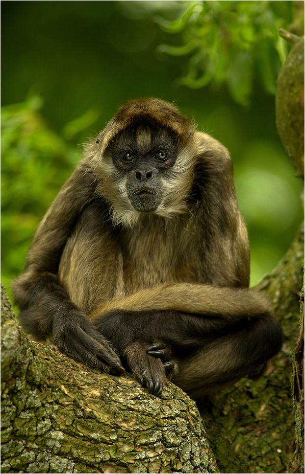 Monkey - Intense eyes