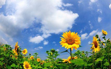 حقل الصورة عباد الشمس والصيف والطبيعة Nature Flowers Sunflower