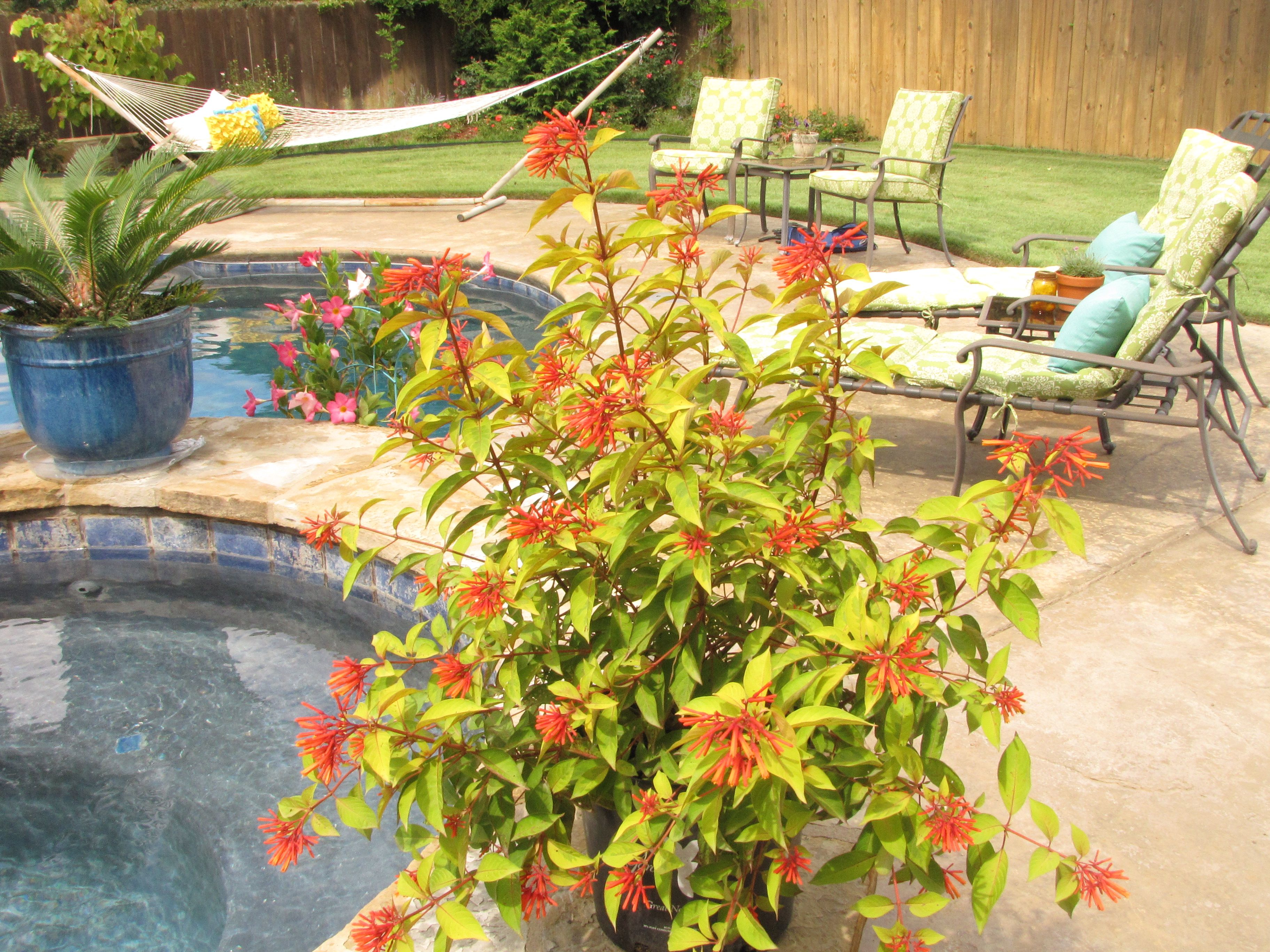 Garden Debut®u0027s Lime Sizzler™ Firebush Looks Perfect By The Pool! Limes GardenSearchingSouthern