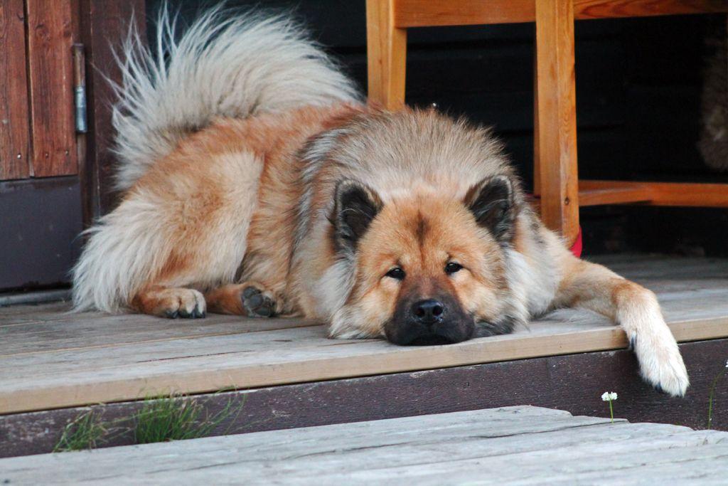 Sigge Www Eurasier Nl Eurasier Dogs Puppies