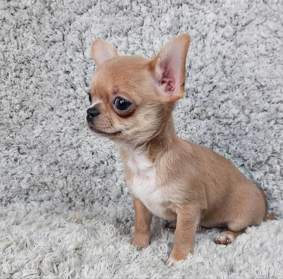 chihuahua puppies for sale in pa under $500