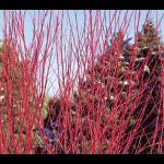 Cornus sericea Arctic Fire™