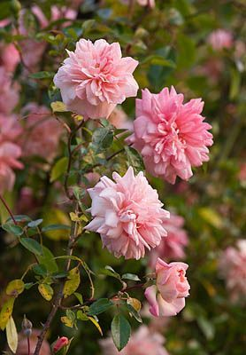 Hybrid Wichurana Large-Flowered Climbing Rose: Rosa 'Paul Noel' (France, 1910)