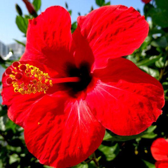 Hibiscus Oil Unrefined Organic Cold Pressed Hibiscus Facial Etsy Hibiscus Essential Oils For Skin Anti Aging Oils