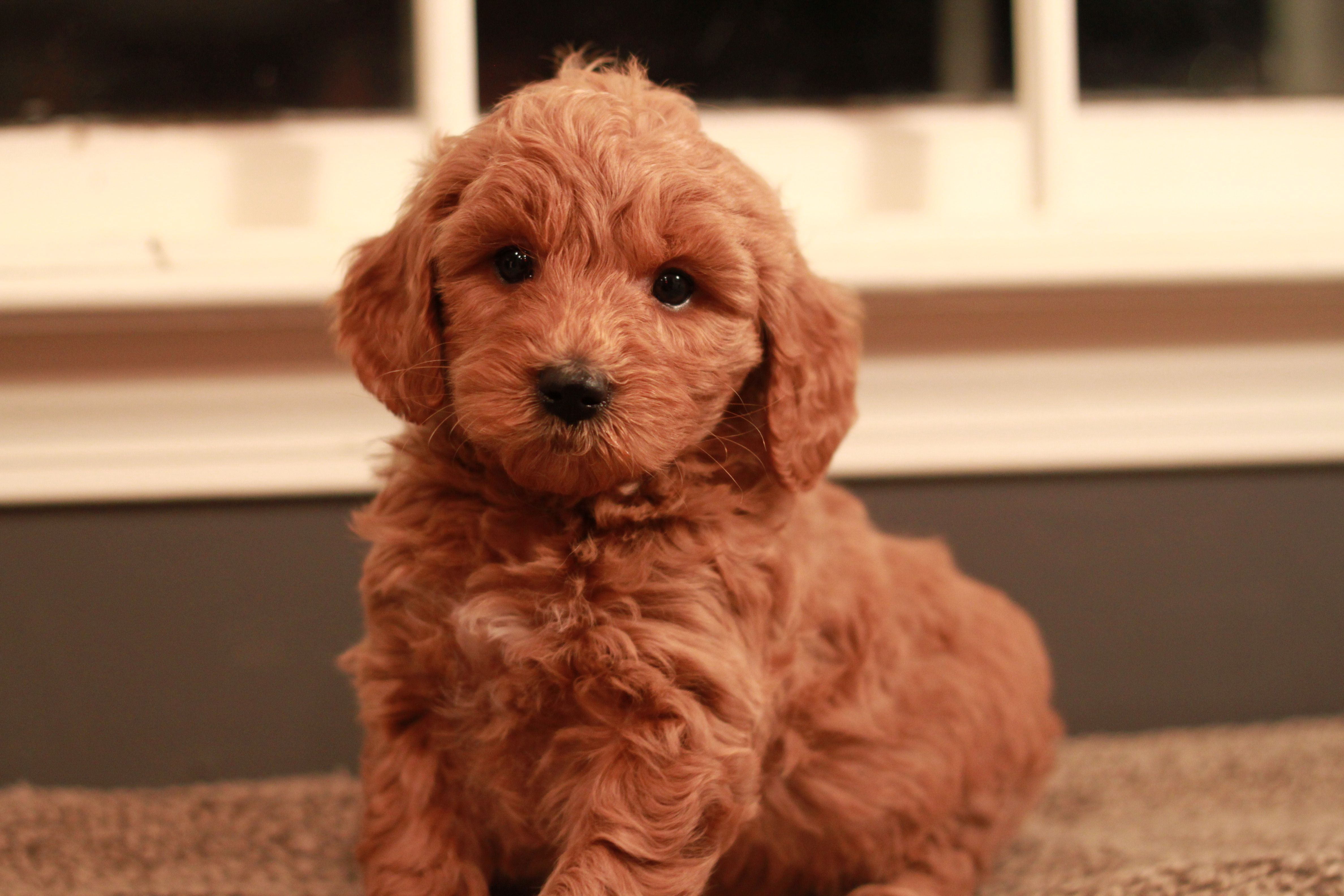 Nike Red Goldendoodle Puppy 6 Weeks Old Goldendoodle Puppy
