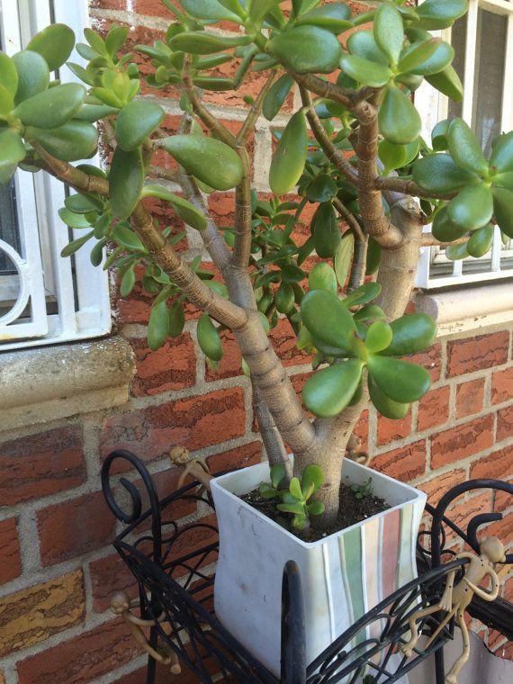 Jade Plant Leaf Propagation Jade Plants Plant Leaves Propagating Plants