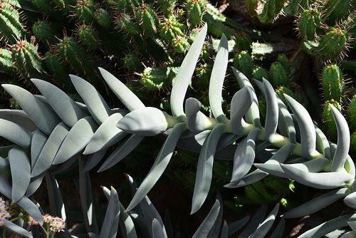 Plante torsadée