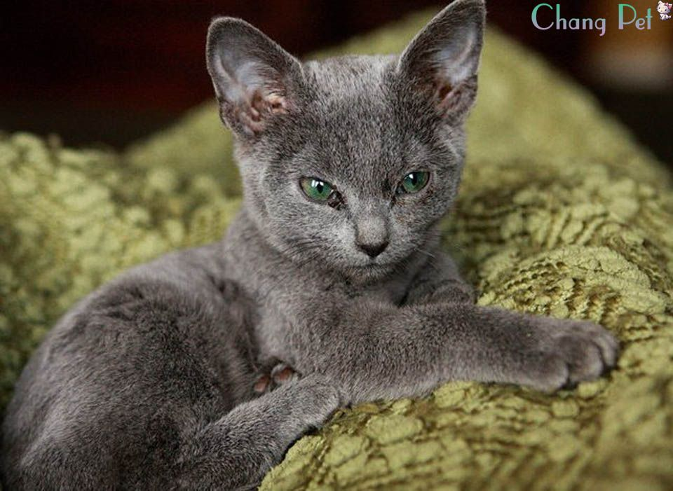 Russian Blue 5 Russian Blue Russian Blue Cat Blue Cats