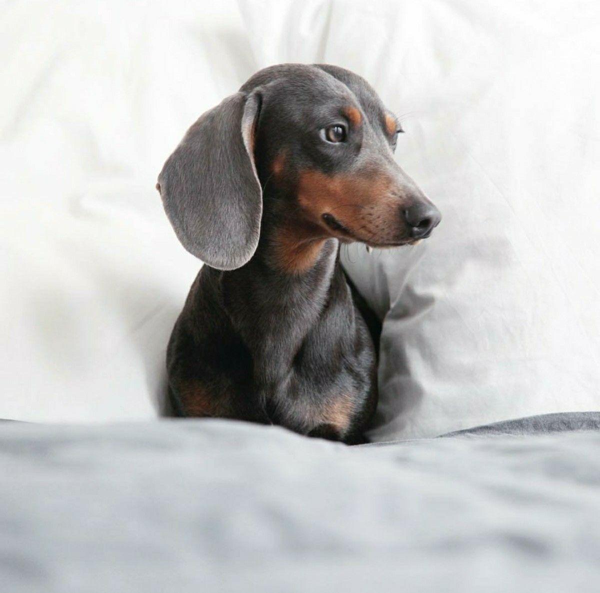 Handsome Silver Tan Dachshund Dachshund Puppy Miniature