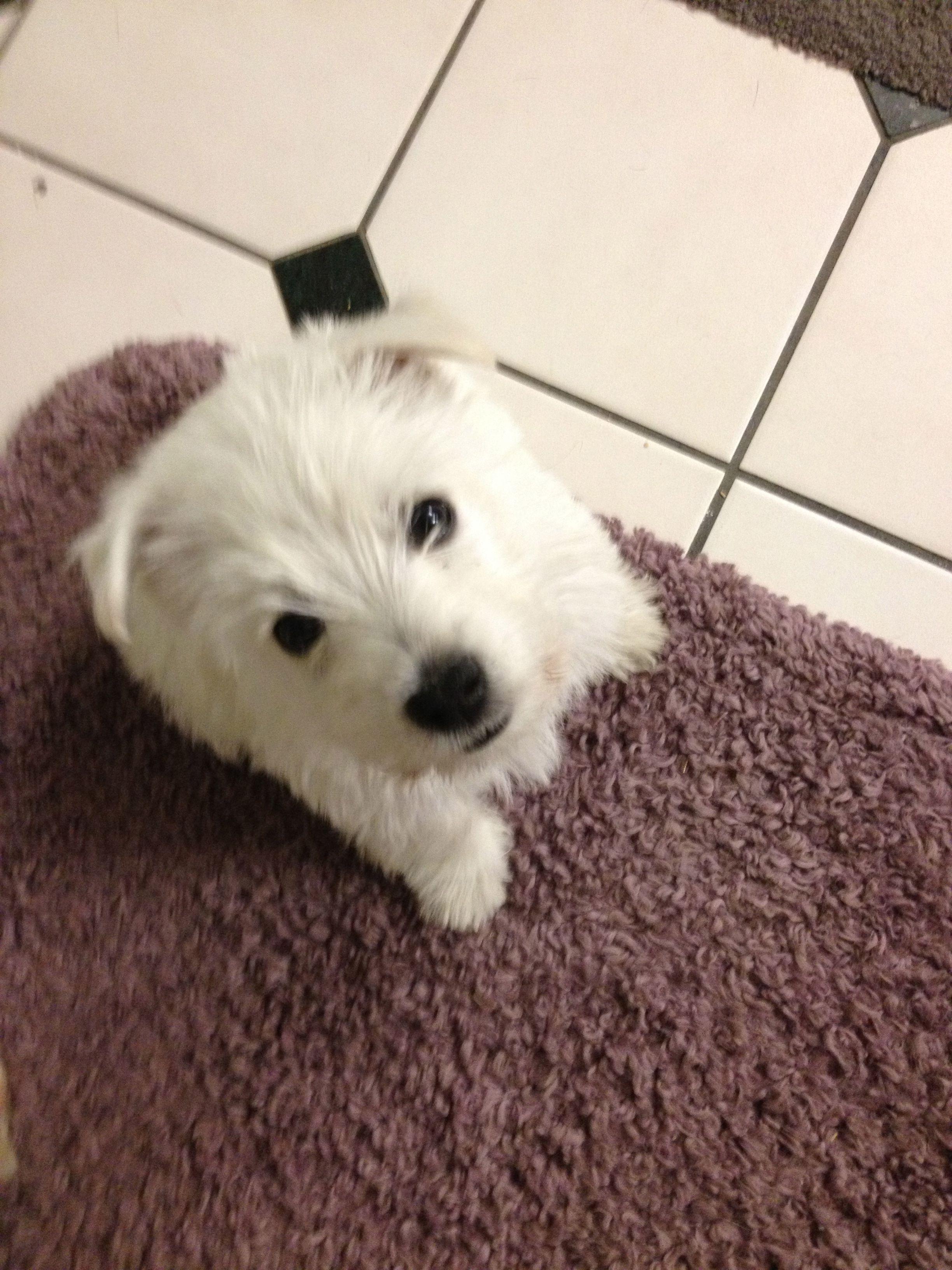 Zoey 8 week Westie puppy.