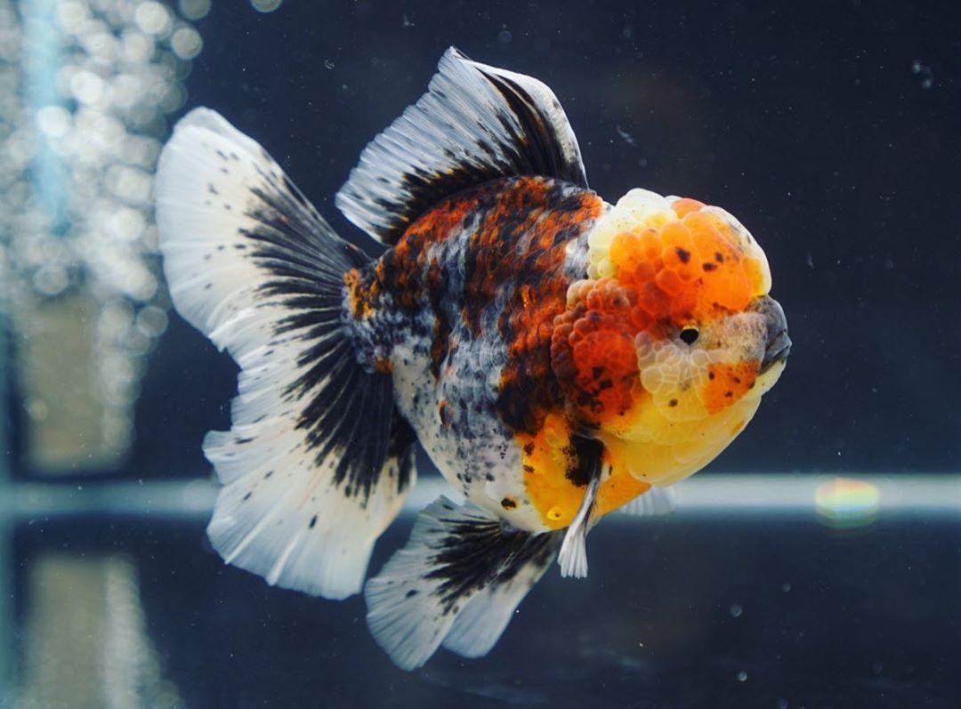 Big Head Monster Body Rose Tail Oranda Goldfish Goldfish Oranda