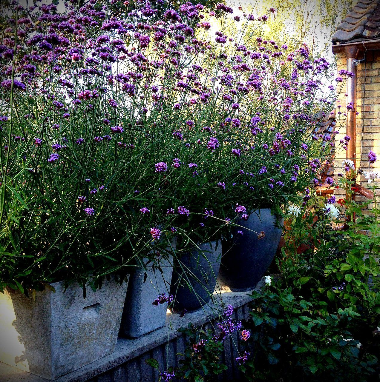 Photo of So the bloody giant verbena bloomed last summer – a veritable verbena year – in …