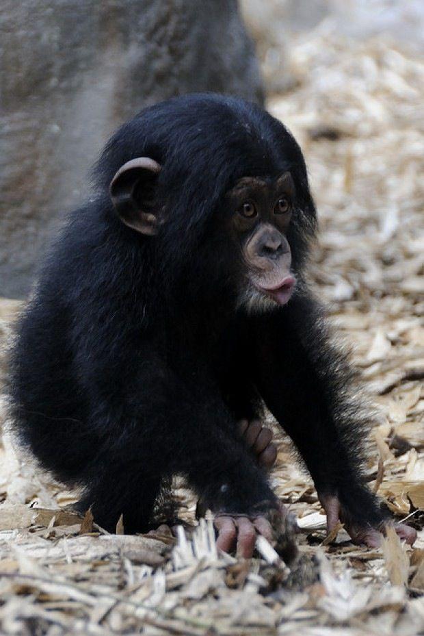 Cute Little Baby Ape Cute Baby Animals Cute Animals Animals