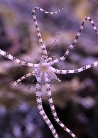The wonderpus octopus is found in shallow waters from Bali and Sulawesi north to the Philippines and east to Vanuatu.