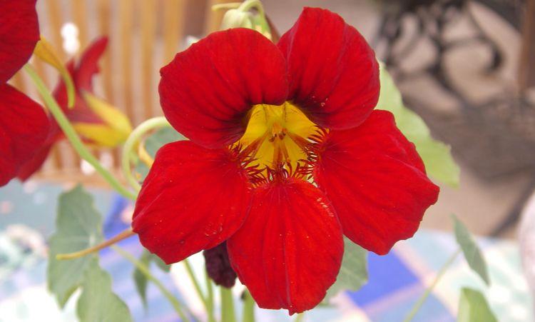 Nasturtiums, Memories Food and Medicine