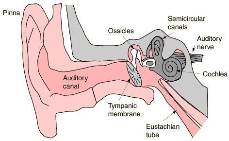 Ear Canal Diagram Human Body Pinterest Human Body