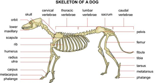 canine skull anatomy canine anatomy skeleton of a from chinaroad 10148