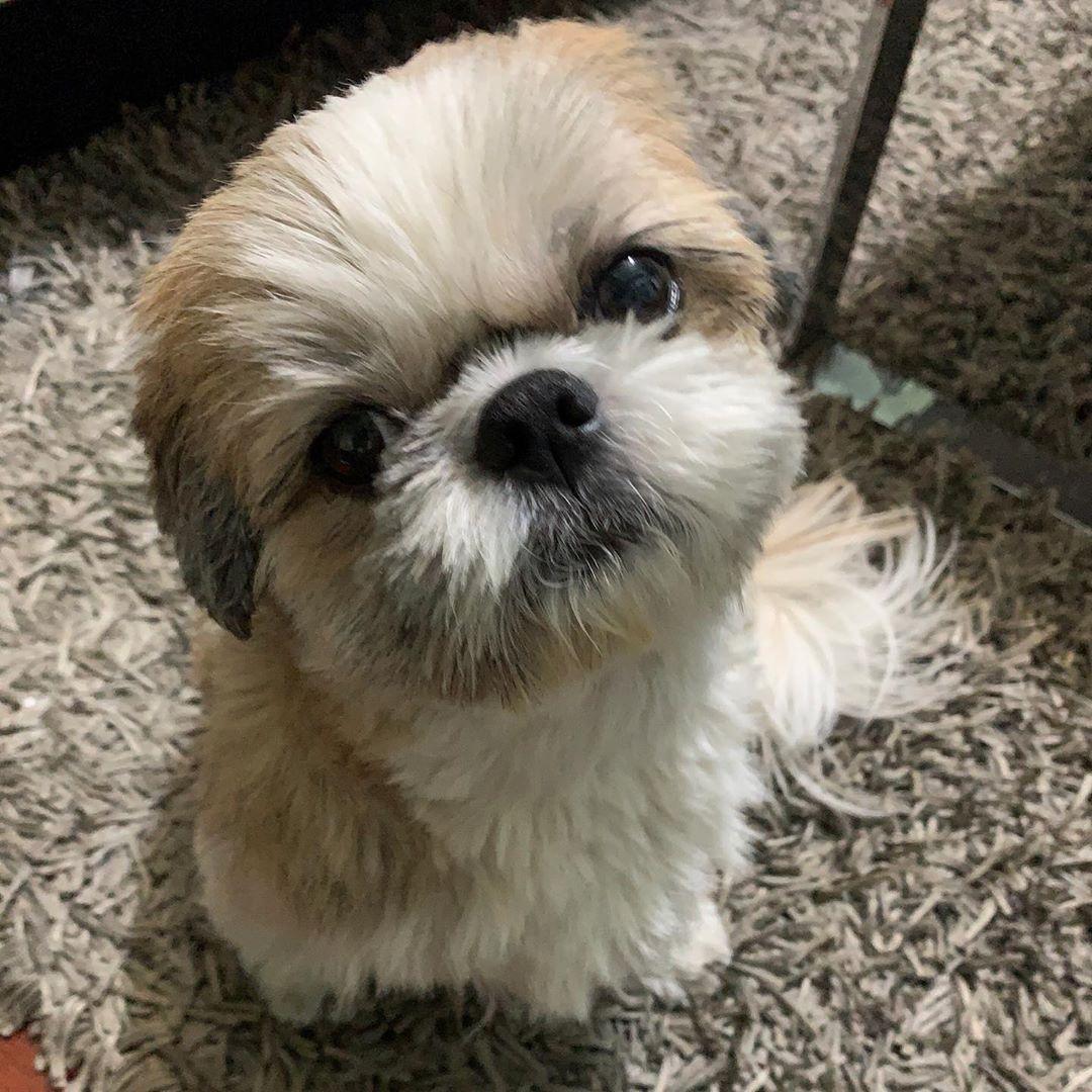 Buenas Lazy Dog Shih Tzu Pets