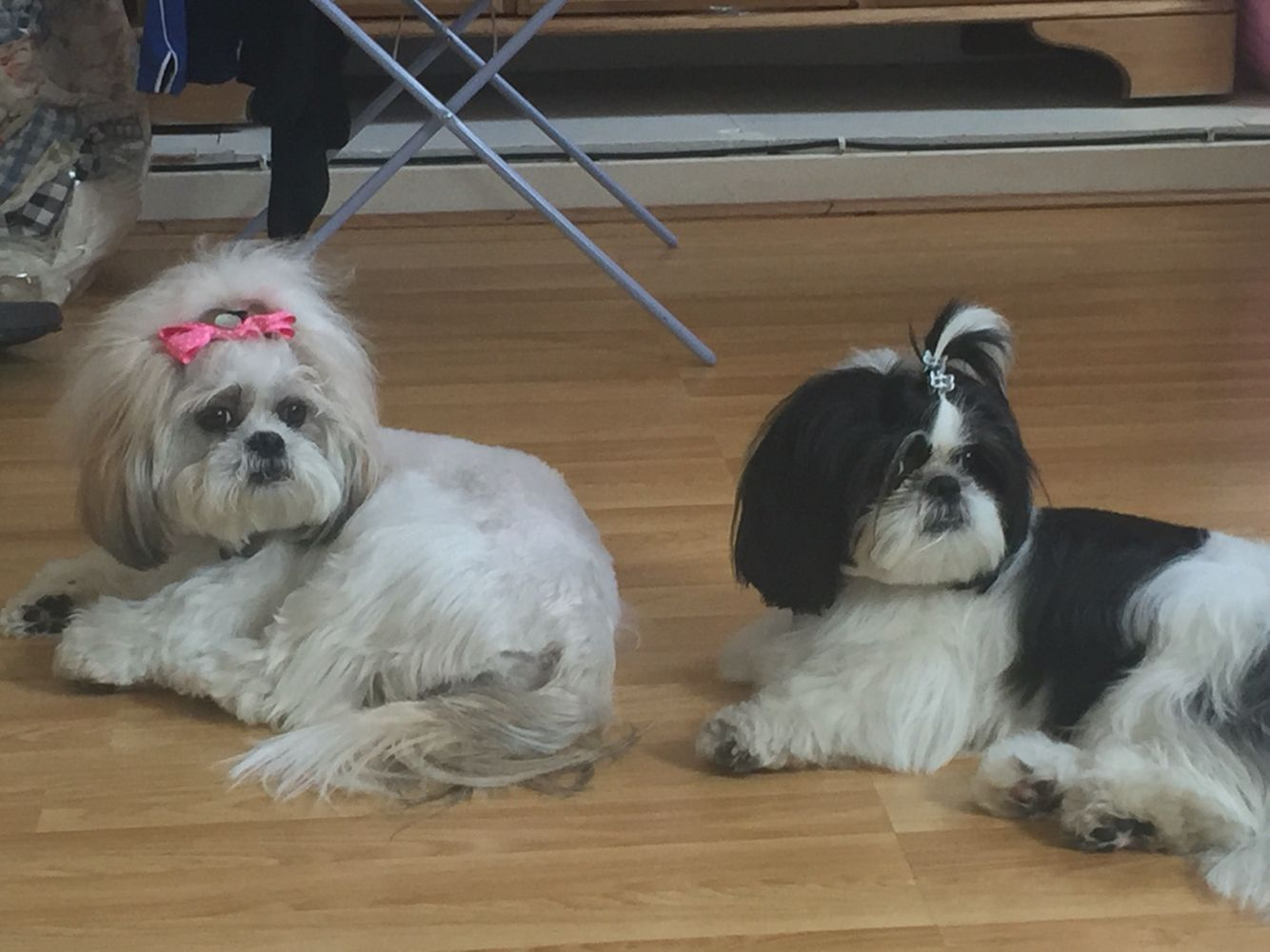 My Two Shih Tzu S Sprinkles Queenie From London Shih
