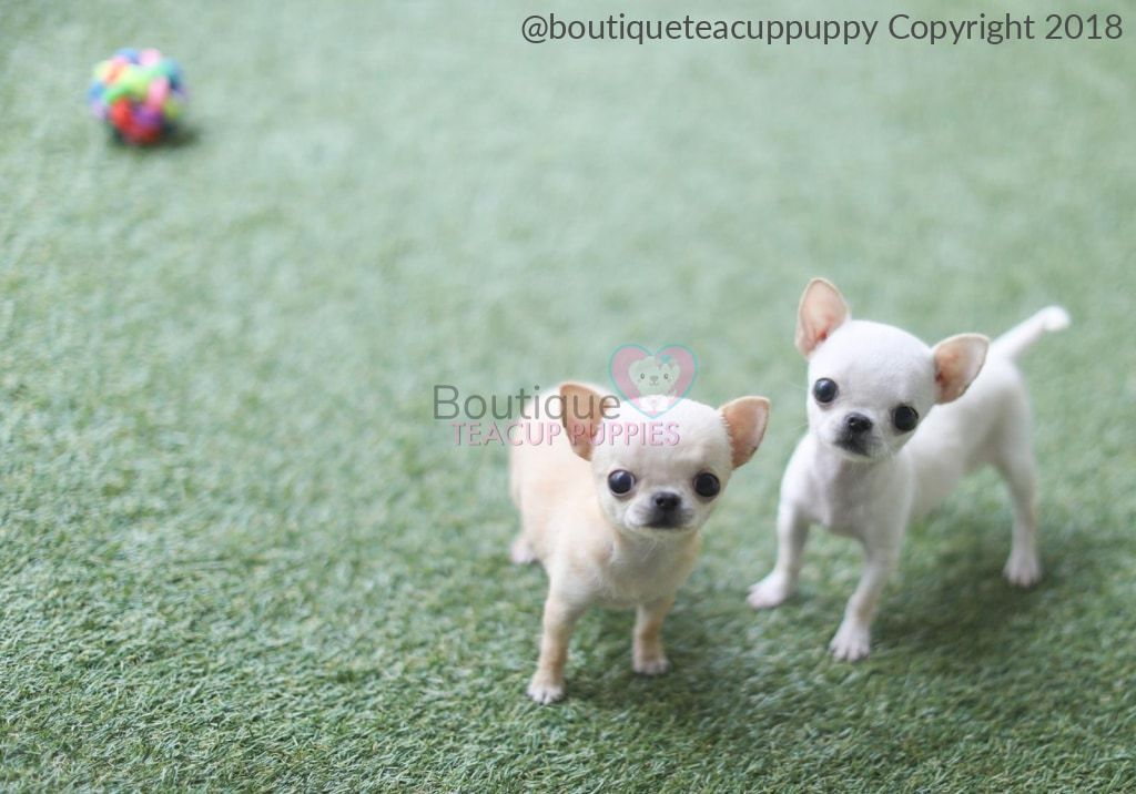 Micro Miss Honolulu Is The Tiniest Partner In Crime Micro Chi
