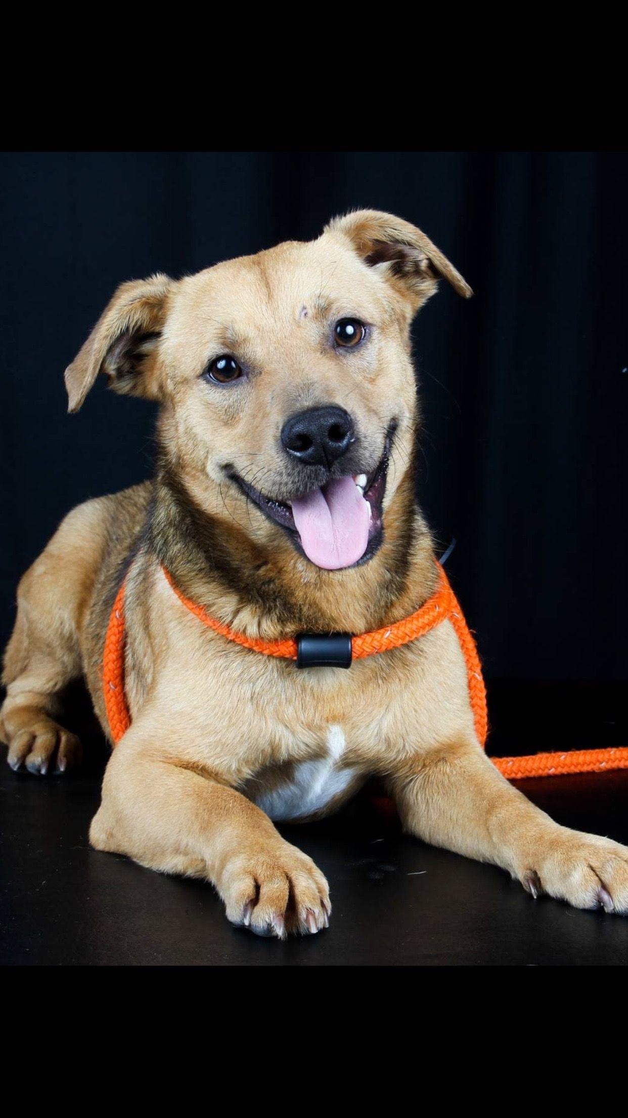 Dachshund dog for Adoption in Fort Worth, TX. ADN553977