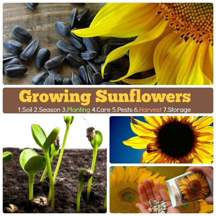 Growing Sunflowers 1 Soil 2 Season 3 Planting 4 Care 5 Pest Disease 6 Harvest 7 Storage Ho Growing Sunflowers Growing Sunflowers From Seed Planting Sunflowers