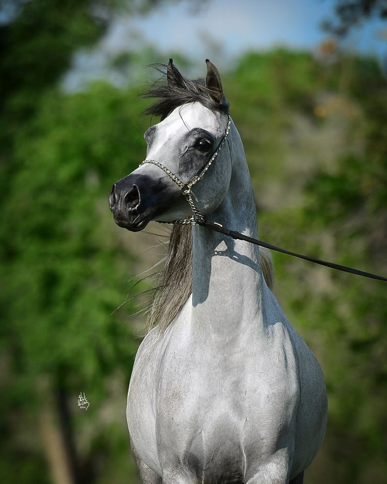 Bessolina, owned by Bob and Tiffany Koort of Houston will return to the ring in 2014. Bessolina is also a full sister to Baahir, Baanderos, and Baandora. She is being bred to AJA Justified via ET. Great things are in store! (as always conformation is unaltered)     http://michaelbyatt.com/home/