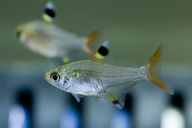 X Ray Tetra Tetra Fish Fish Tropical Fish Aquarium