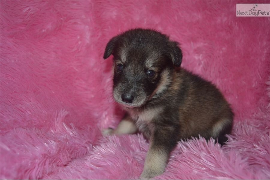 Pomsky Puppy For Sale Near Indianapolis Indiana 2ebb17b1 Edd1