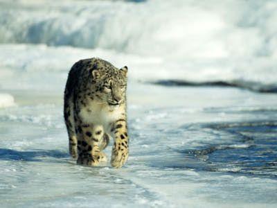 Snow Leopard Pictures: Snow Leopard