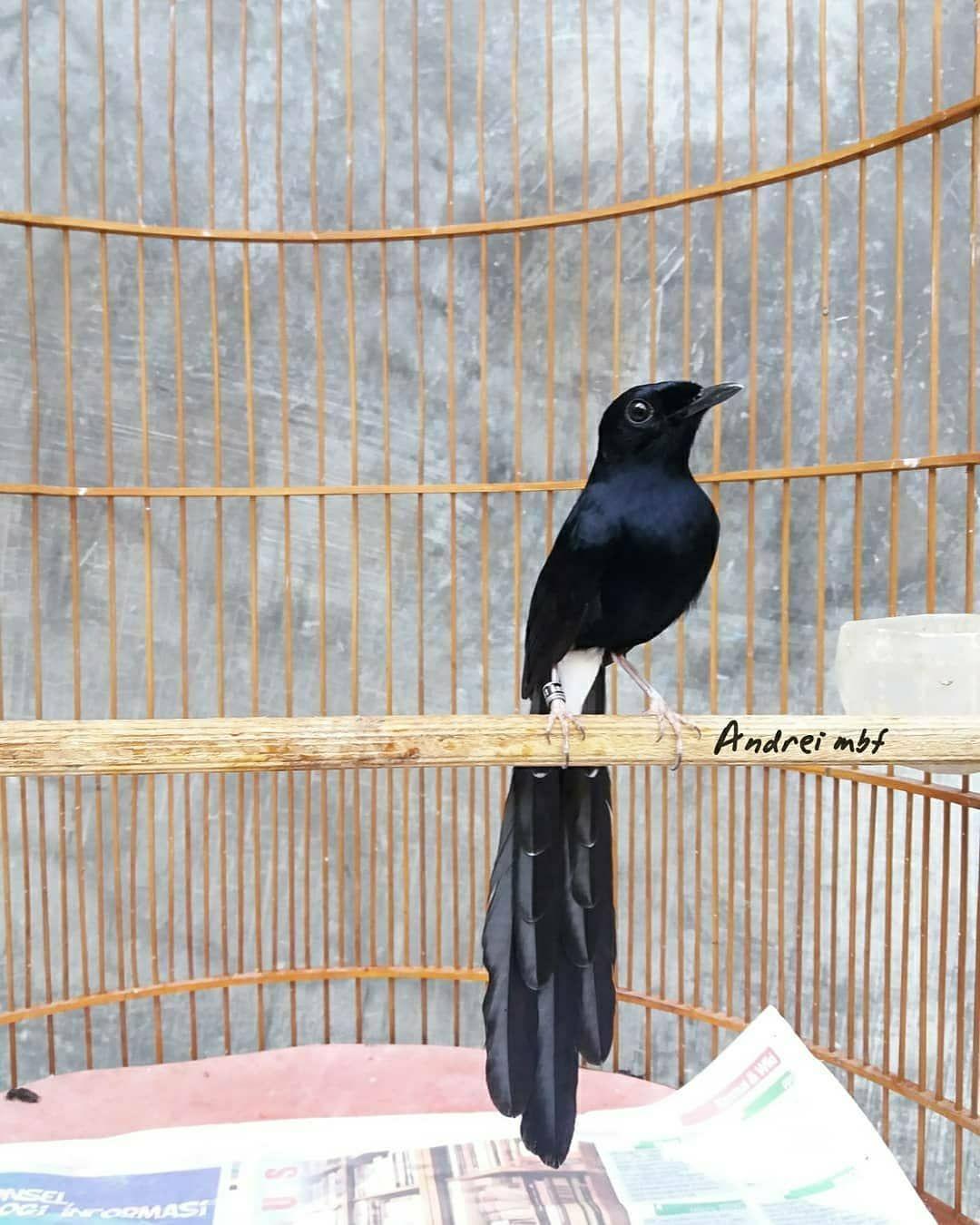 10 Fakta Murai Hitam Ciri Fisik Habitat Dan Suaranya Hewan Habitat Burung