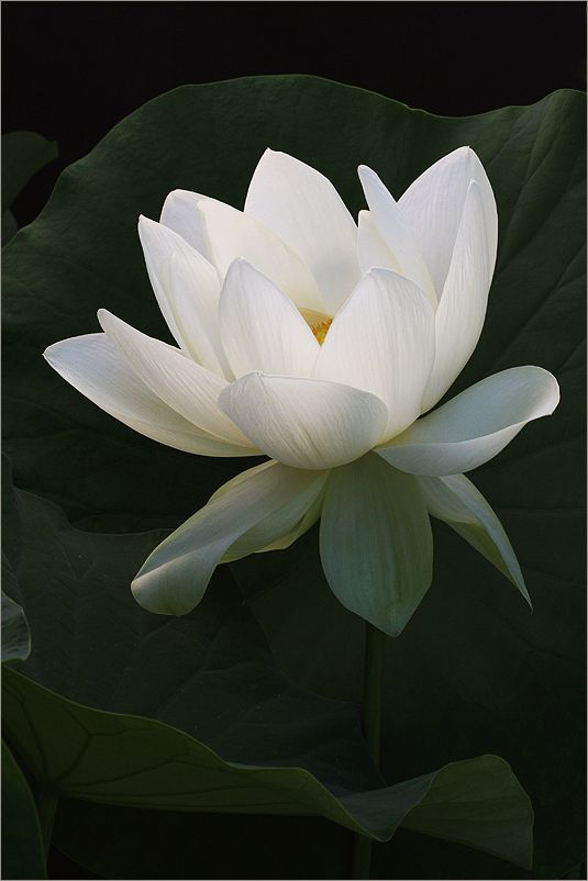 In Ancient Egypt There Were Two Main Types Of Lotus That