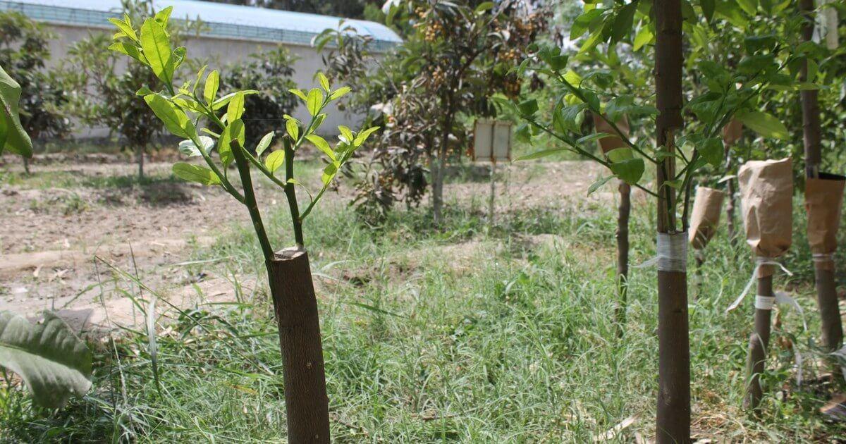 فوائد وشروط ومواعيد التطعيم في أشجار الفاكهة Garden Arch Outdoor Structures Plants