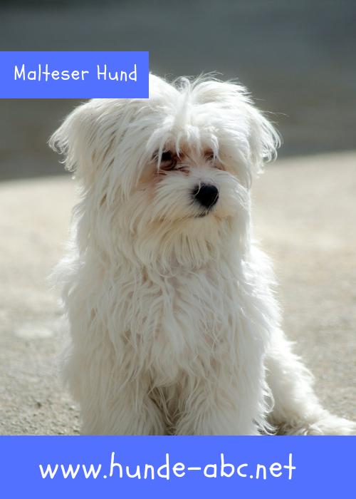 Der Malteser Hund Kleines Bundel Geballter Leidenschaft In 2020 Malteser Hund Malteser Hunderassen