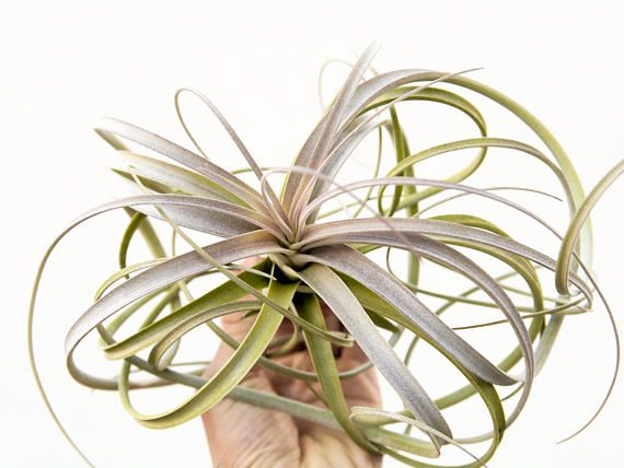 Tillandsia Exserta Large Hanging Air Plant Colorful Airplant Wedding Centerpiece Indo