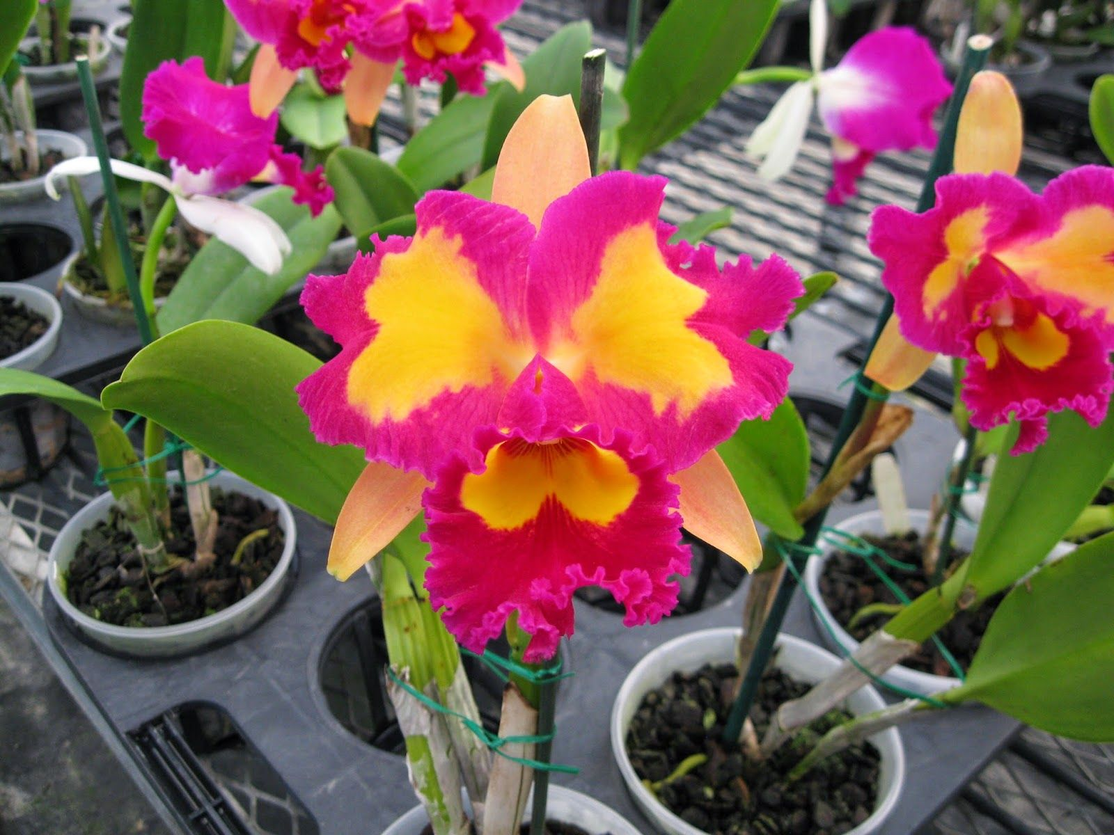 Orchidaceous Orchid Blog Cattleya Orchid Orchid Flower Orchids