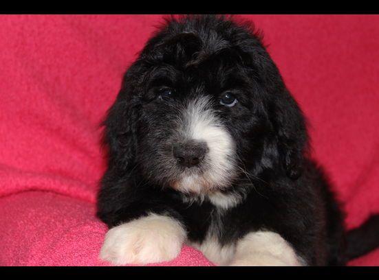 Ksl Com Classifieds Photo Viewer Sheepadoodle Puppy Sheepadoodle Pets